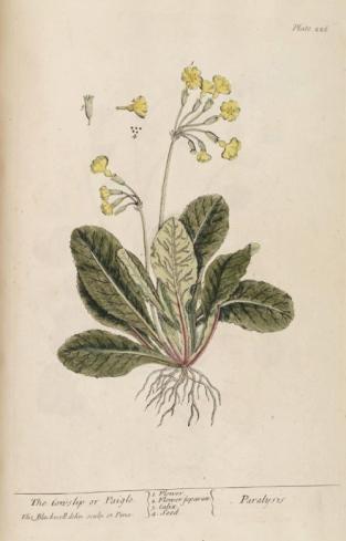 Pavasarinė raktažolė (schematiškas botaniko piešinys)
